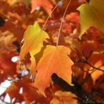 Mapple-Leaves_Daniel-Arauz_2011-Nov-12